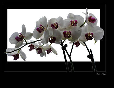 White Orchids Poster by Xoanxo Cespon