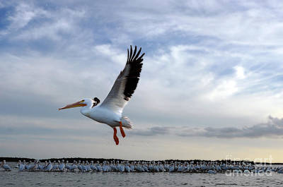 Poster featuring the photograph White Pelican Flying Over Island by Dan Friend