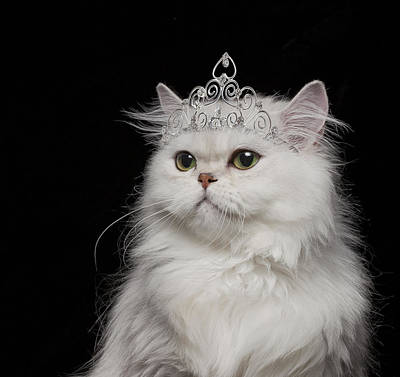 White Persian Cat Wearing Tiara Poster