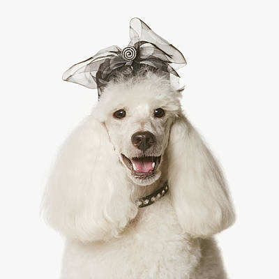 White Poodle Wearing Hat, Close-up Poster