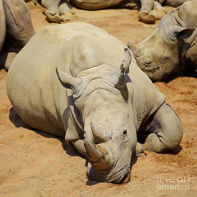 White Rhino Resting In The Sun Poster