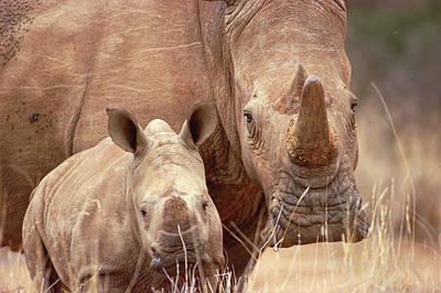 White Rhinoceros Ceratotherium Simum Poster