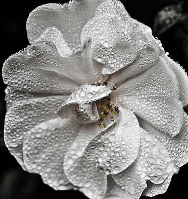 Poster featuring the photograph White Rose After Rain by Ronda Broatch