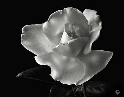 Poster featuring the photograph White Rose In Black And White by Endre Balogh