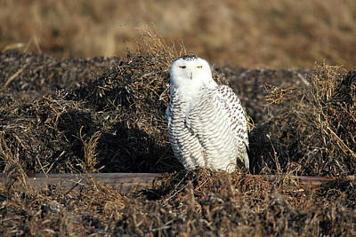 White Snowy Owl Poster by Pierre Leclerc Photography