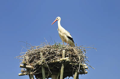 White Stork Ciconia Ciconia Poster