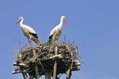 White Storks In Their Nest Poster