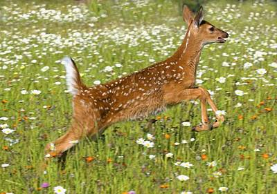 White Tailed Deer Fawn In Field Of Poster by John Pitcher