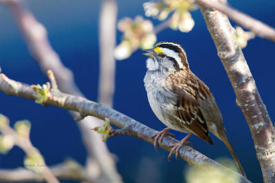 White-throated Sparrow Poster by Michaela Sagatova