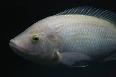 White Tilapia With Yellow Eyes Poster