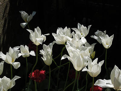 White Tulips On Black Poster