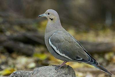 White-winged Dove Poster by Bob Gibbons