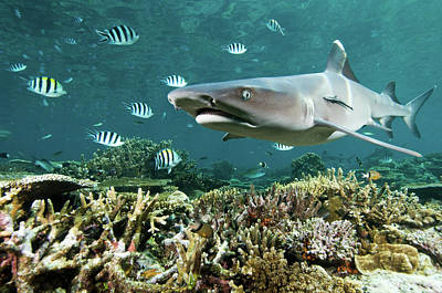Whitetip Shark Over Coral Reef Poster