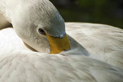 Whooper Swan Poster by Pat Exum