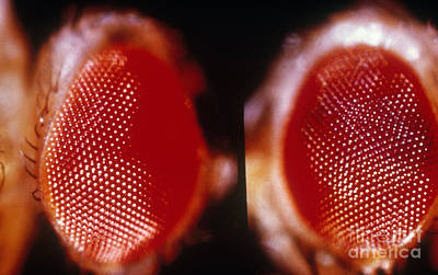 Wild & Vermillion Eyes Of Drosophila Poster by Science Source