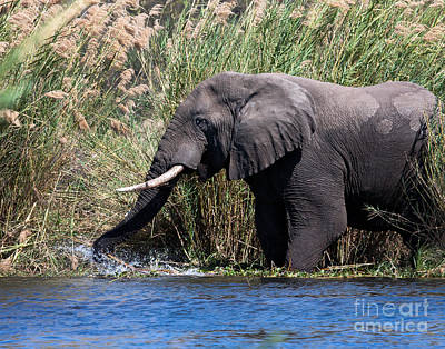 Poster featuring the photograph Wild Elephant Splashing In Water by Karen Lee Ensley