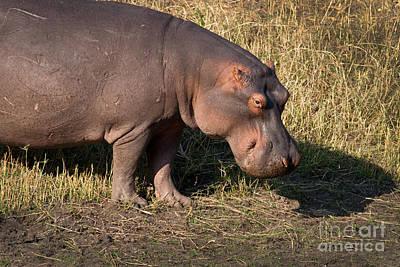 Poster featuring the photograph Wild Hippopotamus by Karen Lee Ensley