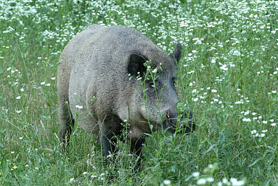 Wild Hog Between Flowers Poster