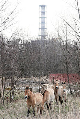 Wild Horses Near Chernobyl Poster