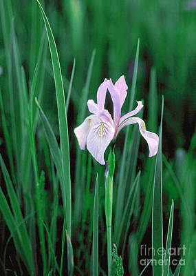 Poster featuring the photograph Wild Iris by Doug Herr