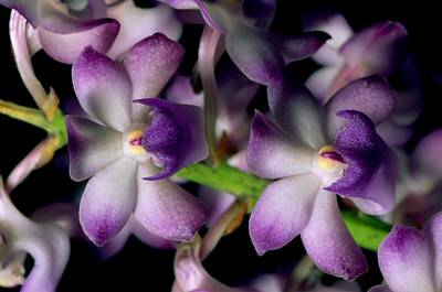 Wild Orchids Rhynchostylis Coelestis Poster by Tim Laman