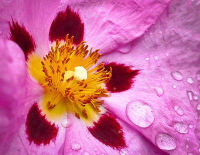 Poster featuring the photograph Wild Rose After Rain by Ronda Broatch