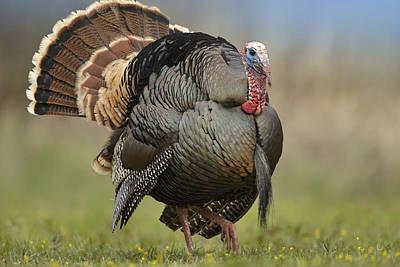 Wild Turkey Male In Courtship Display Poster
