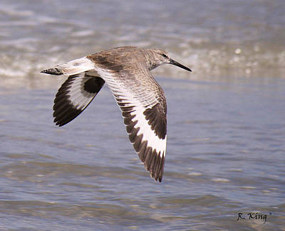 Willet In Flight Poster by Roena King