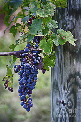 Poster featuring the photograph Winery Harvest by Vicki DeVico