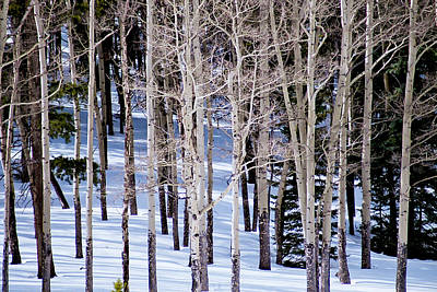 Winter Aspens Poster by Colleen Coccia