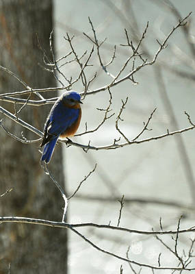 Winter Bluebird Poster by Rebecca Sherman