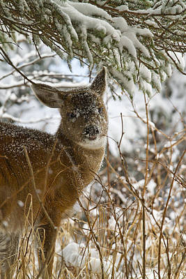 Winter Dining For A Black-tailed Deer Poster by Tim Grams