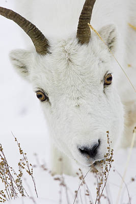 Winter Lunch For A Dall Sheep Poster by Tim Grams