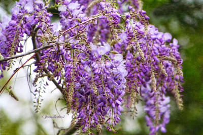 Poster featuring the photograph Wisteria by Joan Bertucci