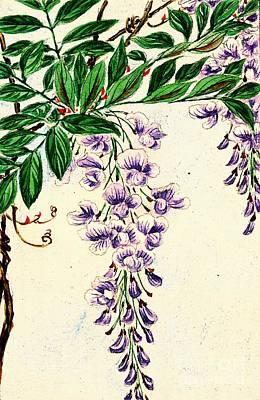 Wisteria Vine Blooms 1870 Poster