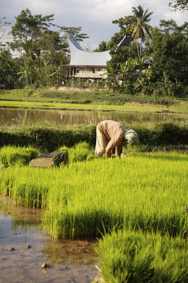 Woman Planting Rice Poster