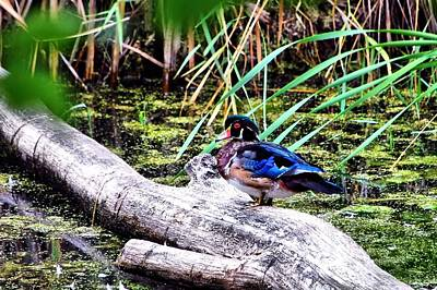 Wood Duck At Rest Poster by Don Mann