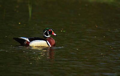 Poster featuring the photograph Wood Duck by Josef Pittner