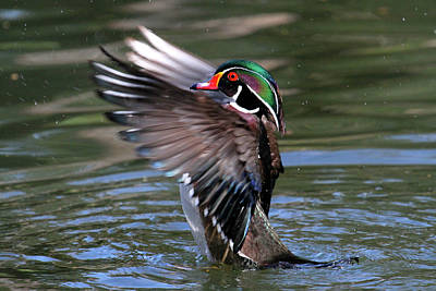 Wood Duck Stretch Poster