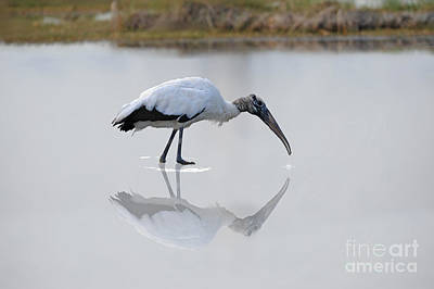 Poster featuring the photograph Wood Stork Eating by Dan Friend