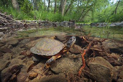 Wood Turtle, Clemys Insculpta, Forages Poster by George Grall
