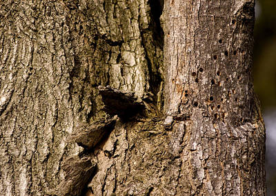 Woodpecker Damage In The Bark Poster
