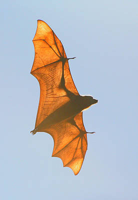 X-ray Fruit Bat Poster by Bruce J Robinson