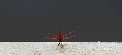Poster featuring the photograph X Wing Dragonfly by Nola Lee Kelsey