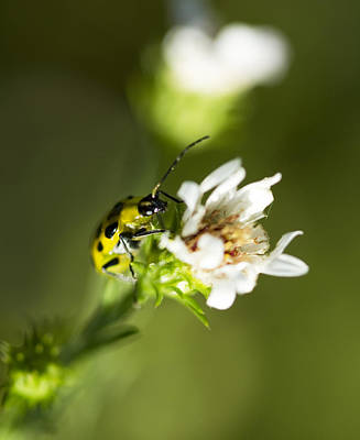 Yellow And Black Spotted Cucumber Beetle - Diabrotica Undecimpunctata Poster by Kathy Clark