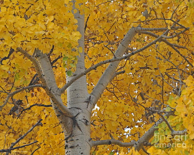 Yellow Aspen Autumn Tree Grand Teton National Park Poster