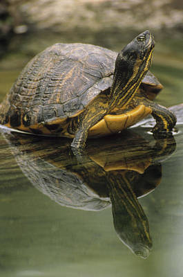 Yellow-bellied Slider Trachemys Scripta Poster by Gerry Ellis