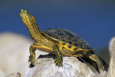 Yellow-bellied Slider Trachemys Scripta Poster by Tim Fitzharris