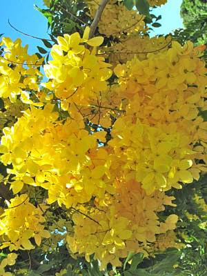 Yellow Blossom Poster by Irina Zilbermanas