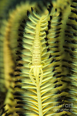 Yellow Commensal Shrimp On Crinoid Poster